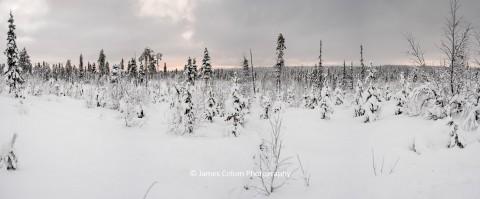 Arctic Forest near Kiruna in Swedish Lapland, Sweden